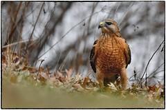 only to come up empty (RKop) Tags: redshoulderedhawk raphaelkopanphotography nikon cincinnati ohio ohiorivebanks nature bird d500 600mmf4evr 14xtciii