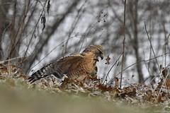 to attempt a catch (RKop) Tags: redshoulderedhawk raphaelkopanphotography nikon cincinnati ohio ohiorivebanks nature bird d500 600mmf4evr 14xtciii