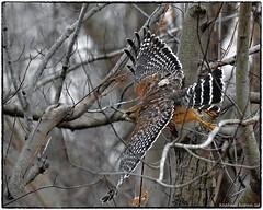 Red shouldered hawk taking off... (RKop) Tags: redshoulderedhawk raphaelkopanphotography nikon cincinnati ohio ohiorivebanks nature bird d500 600mmf4evr