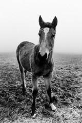 Portrait of a Foal (koen_jacobs) Tags: belgium antwerp winter foal