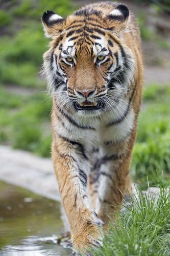 Young tiger walking towards me