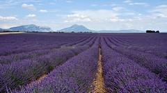 Lavenders as far as the eye can see (Chemose) Tags: summer june juin sony provence été ilce7m2 alpha7ii mountain flower fleur montagne landscape purple plateau violet lavander paysage lavande hdr valensole