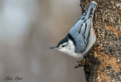 Sittelle à poitrine blanche - White-breasted Nuthatch (Lucie.Pepin1) Tags: oiseaux birds sittelle nuthatch nature wildlife faune fauna héritagestbernard luciepepin canon7dmarkii canon300mml