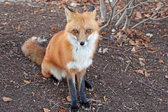 Amber Eyes (marylee.agnew) Tags: vulpes red fox male alpha amber eyes beauty nature wildlife canine outdoor