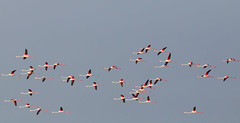Flamingo, probably more than one (Rajiv Lather) Tags: flamingo india indian bird birding greaterflamingo phoenicopterusruber nature wildlife aves avifauna image photo picture photograph birder white sky outside flight wings flock avian pic phoenicopteridae red pink water focus