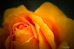 Of old gold? (Through_Urizen) Tags: bedfordshire category england flora luton places canon canon70d sigma105mmmacro plant flower rose orange gold nature natural garden gardenplant