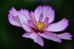 Cosmos (prokhorov.victor) Tags: цветок цветы растения флора сад природа макро