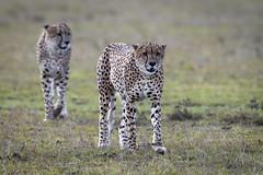 Cheetah brothers (andy_harris62) Tags: cheetah bigcats africa kenya safari kichechecamps wildlife wildlifephotography naturephotography nature outside outdoors nikond850 nikkor300mmf28
