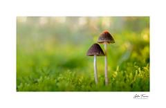 Red Lamp (g.femenias) Tags: mushrooms fungi sun bokeh nature naturallight macro macrophotography green bonany petra mallorca