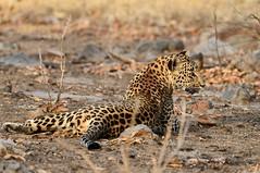 beautiful Leopard #2 (cirdantravels (Fons Buts)) Tags: ngc pannanationalpark tigerreserve bigcatsafari indiasafari wildlifephotography naturalhabitat inthewild madhyapradeshwildlife saraiattoria fonsbuts cirdantravels nikond850 leopard luipaard léopard pantherapardus bigcat feline felidae felinae carnivore carnivora
