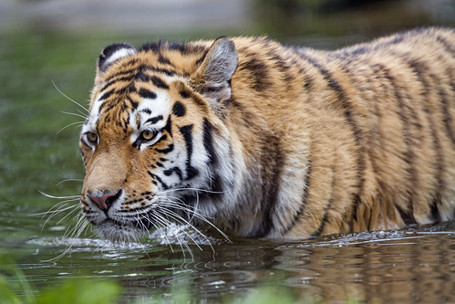 Young tiger in the water