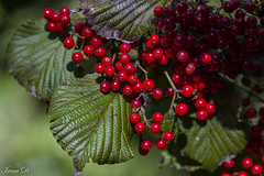 December in green and red (Irina1010) Tags: berries red leaves green viburnum nature canon coth5