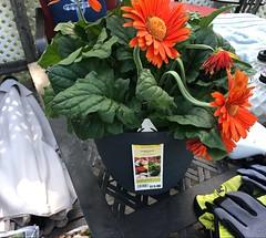 Orange Gerbera Daisy (katclarkevb) Tags: gerberadaisy