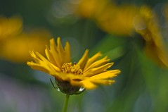 Vintage lens photography (steffos1986) Tags: nature bokeh macro beautiful flora flower flowers outdoor outside vintage manualfocus pentacon50mm dslr yellow red green
