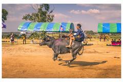 Racing Buffalo (christophe plc) Tags: buffalo race racing course sport thailand pattaya chonburi buffle animal canon christopheplc 6dmarkii sun photo flickr camera