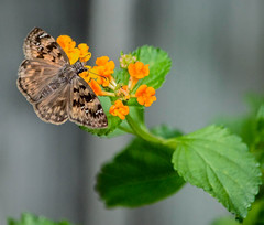 A Little Dusky Here (ACEZandEIGHTZ) Tags: horacesduskywing erynnishoratius butterfly nature bokeh lantana flowers macro closeup wings winged flyinginsect mottled brown dorsalview d3200 nikond3200