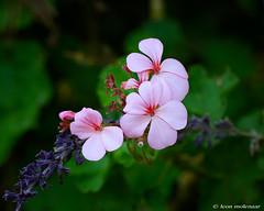 Pink Flowers (leendert3) Tags: leonmolenaar southafrica magoebaskloof drakensbergmoutains haenertsburg limpopoprovince flowers naturethroughthelens coth5 sunrays5 ngc npc