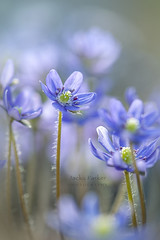 Hepatica nobilis (Jacky Parker Photography) Tags: hepaticanobilis flowers flowerphotography alpine blueflower beautyinnature freshness fragility vitality floralart bloom springflowering springgarden nikond750