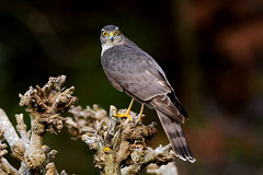 DSC_01670 Épervier d'Europe (sylvette.T) Tags: épervierdeurope 2019 oiseau rapace bird accipiternisus coth5