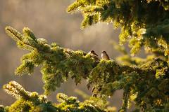 Natural Christmas Decoration (Inka56) Tags: christmasdecoration crazytuesday birds sparrows glitter evergreentree