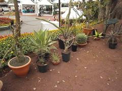 CB-succulentes - Bombacaceae, Agavaceae, Mestoklema et divers (Pankreator) Tags: agave alluaudia didierea mestoklema