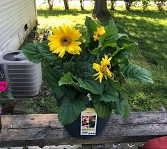 Yellow Gerbera Daisy (katclarkevb) Tags: gerberadaisy