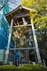 犬山城の大杉 (retrue) Tags: 日本 愛知県 犬山城