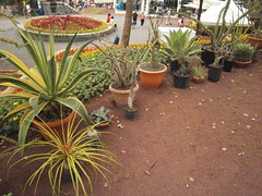 CB-succulentes - Agavaceae, Didieraceae... (Pankreator) Tags: agave mestoklema nolina alluaudia didierea