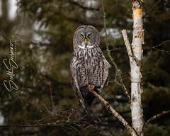 Happy Tuesday... (DTT67) Tags: greatgrayowl ggo owl borealforest canon minnesota nature bird wildlife