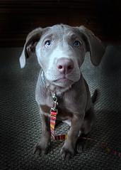 Sophie - 12 Weeks (KWPashuk (Thanks for >3M views)) Tags: samsung galaxy s8 s8plus lightroom luminar luminar2018 luminar3 luminar31 luminar4 dog puppy labrador silver portrait animal pet