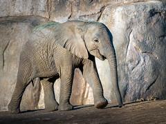 Twinkle Toes [In Explore 12/17/19] (helenehoffman) Tags: elephant conservationstatusvulnerable africansavannaelephant sandiegozoosafaripark loxodontaafricana calf africanbushelephant mammal animal coth alittlebeauty coth5