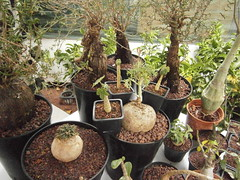 CB-succulentes - Euphorbia, Jatropha, Adenia et Mestoklema (Pankreator) Tags: euphorbia jatropha adenia mestoklema