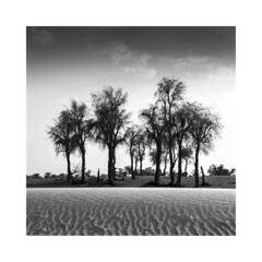 desert (young00) Tags: deserttree ngc hasselblad500cm fomapan