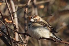 Bruant à joues marron _ Lark Sparrow (michèledaoust) Tags: bruantàjouesmarron montréal technoparc bird oiseau wildlife nature michèledaoust