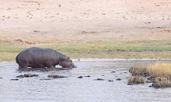 Near Shore Hippo (peterkelly) Tags: digital canon 6d africa intrepidtravel capetowntovicfalls botswana chobenationalpark choberiver water shore hippo hippopotamus commonhippopotamus riverbank
