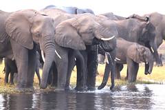 Messy Drinker (peterkelly) Tags: digital canon 6d africa intrepidtravel capetowntovicfalls botswana chobenationalpark savannaelephant elephant water wateringhole waterhole drinking tusk choberiver savannahelephant