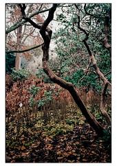 (schlomo jawotnik) Tags: 2019 november hannover herrenhäusergärten berggarten bäume äste zweige laub analog kodak kodakproimage100 usw