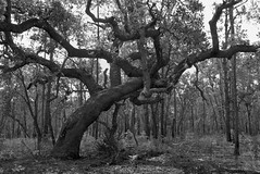 Oak Tree (surfcaster9) Tags: oaktree forest florida outside nature lumixg7 micro43 lumix20mmf17llasph outdoors ground blackwhite trees