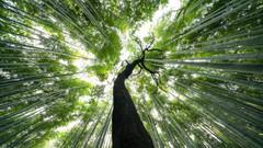 Grasp (Bastian.K) Tags: bamboo forest bambus wald wälder tree baum bäume trees arashiyama voigtlander 10mm 56 ultra wide heliar uwh emount sony a7rii kyoto japan
