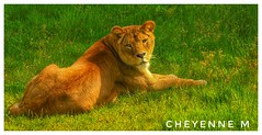 Une belle posture devant l'objectif😍 (cheyennemercier) Tags: pairidaiza tigre animal parcanimalier zoo animaux