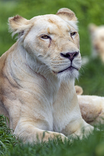 Lioness quite relaxed