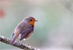 Rouge-gorge (boblecram) Tags: erithacus rubecula rougegorge bird oiseau passereau ornithologie ornithology