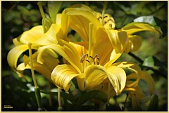 brighter than sunshine! (MEA Images) Tags: daylilies lilies flowers blooms flora nature gardens parks pointdefiancepark tacoma washington canon picmonkey
