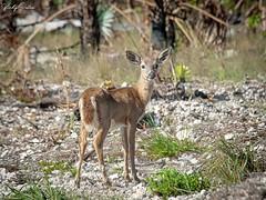 🇺🇸 Fawn key deer exclusive to Florida Keys 4940 (vickyoutenphoto) Tags: vickyouten keydeer fawn wildlife nature nikon nikond7200 nikkor55300mm floridakeys florida usa