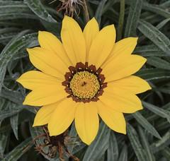 Gazania (MJ Harbey) Tags: gazania flower yellowgazania eudicot asterales asteraceae arctotideae france brittany parcbotaniquedecornouaille nikon d3300 nikond3300