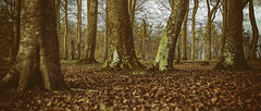through the living to the dead (Redheadwondering) Tags: sonyα7ii autochinon50mmf14kmount salisburyplain wiltshire landscape manualfocus trees spta sptaeast leaves beeches trunks