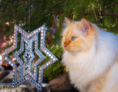 Under the spell of the Christmas star (FocusPocus Photography) Tags: tofu dragon katze kater cat stern star weihnachtsdeko ornament decoration baum tree