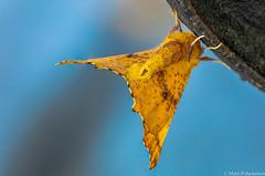 Koivulovimittari (Ennomos autumnarius),  Large Thorn (pohjoma) Tags: hyönteinen hyönteiset koivulovimittari mittariperhonen perhonen ennomosautumnarius largethorn canoneos5dmarkiv finland sigmaapomacro180mmf28exdgoshsm nature wildlife insect moth wings lepidoptera geometridae macro
