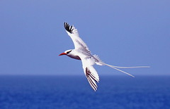 Red-billed tropicbird (xd_travel) Tags: 2014 galapagos equador endemic wildlife redbilledtropicbird phaethonaethereus seabirds tropicbirds inflight espanola islaespanola puntajuarez