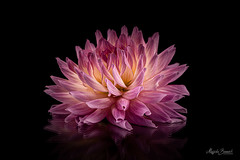Pink dahlia (Magda Banach) Tags: nikond850 blackbackground colors dahlia flora flower macro nature pink plants reflections yellow